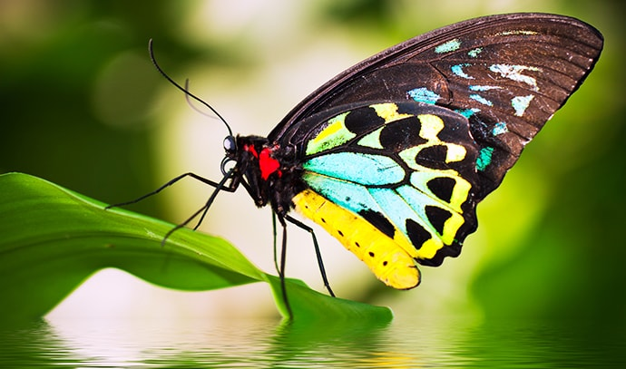 male-birdwing-butterfly-ornithoptera-euphorion